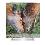 Red Deer  Cervus Elaphus  Head To Head Shower Curtain