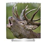 Red Deer Cervus Elaphus Stag Bugling Shower Curtain