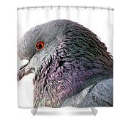 Red-eyed Pigeon Shower Curtain