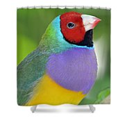 Red Faced Gouldian Finch Shower Curtain