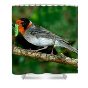 Red-faced Warbler With Caterpillar Shower Curtain