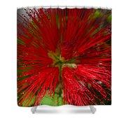 Red Fairy Duster Calliandra Californica Shower Curtain
