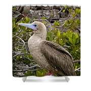 Red-footed Booby Galapagos Islands Shower Curtain