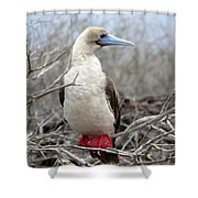 Red-footed Booby Shower Curtain