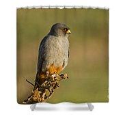 Red Footed Falcon Falco Vespertinus 4 Shower Curtain