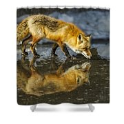 Red Fox Has A Drink Shower Curtain