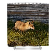 Red Fox Hunting The Edges At Sunset Shower Curtain