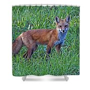 Red Fox In A Field Shower Curtain