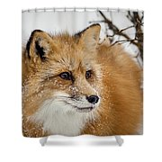 Red Fox In Snow Shower Curtain