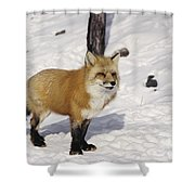 Red Fox In The Snow Shower Curtain