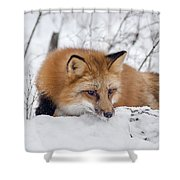 Red Fox Making Dinner Plans Shower Curtain