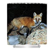 Red Fox - Piercing Eyes Shower Curtain