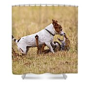 Red Fox Playing With Jack Russell Shower Curtain
