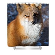 Red Fox Standing Shower Curtain