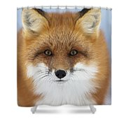Red Fox Staring At The Camerachurchill Shower Curtain