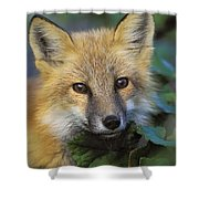 Red Fox Vulpes Vulpes, Gros Morne Shower Curtain