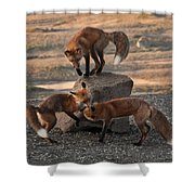 Red Foxes Vulpes Fulva Shower Curtain