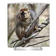 Red-fronted Lemur  Eulemur Rufifrons Shower Curtain