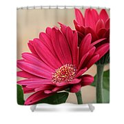 Red Gerber Daisies Shower Curtain