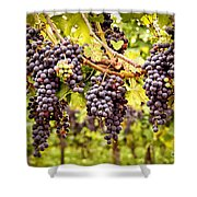 Red Grapes In Vineyard Shower Curtain