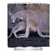 Red Kangaroo. Australia Shower Curtain