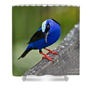 Red-legged Honeycreeper.. Shower Curtain