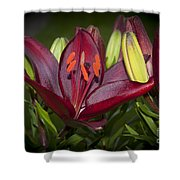 Red Lily 6 Shower Curtain