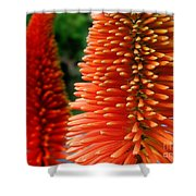 Red-orange Flower Of Eremurus Ruiter-hybride Shower Curtain