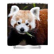 Red Panda  Ailurus Fulgens Eating Shower Curtain