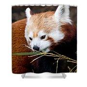 Red Panda  Ailurus Fulgens In Captivity Shower Curtain