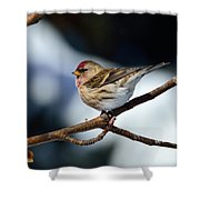 Red Poll Shower Curtain