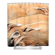 Red River Hogs Potamochoerus Porcus Shower Curtain