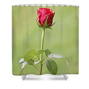 Red Rose Bud 1 Shower Curtain