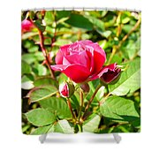Pink Rose Buds Shower Curtain
