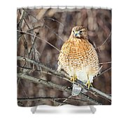 Red-shouldered Hawk Front View Square Shower Curtain