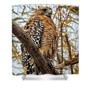 Red-shouldered Hawk In A Willow Tree Shower Curtain