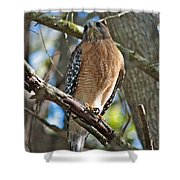 Red-shouldered Hawk On Branch Shower Curtain