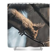Red Squirrel Licking Dew Droplets  Shower Curtain