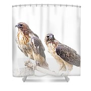 Red Tail Hawk Pair On White Background Shower Curtain