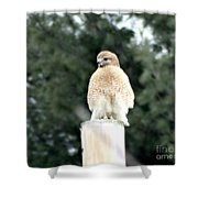 Red Tail Hawk Waiting On A Pole Shower Curtain