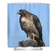 Red-tailed Hawk Monterey California  2008 Shower Curtain