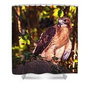 Red Tailed Hawk - 54 Shower Curtain