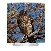 Red-tailed Hawk In A Willow Tree Shower Curtain