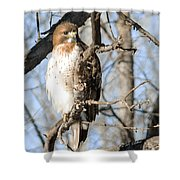 Red-tailed Hawk Looking Shower Curtain