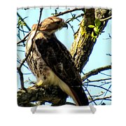 Red Tailed Interest Shower Curtain