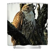 Red Tailed Morning Shower Curtain