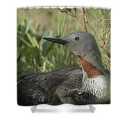 Red-throated Loon With Day Old Chicks Shower Curtain by Michael Quinton