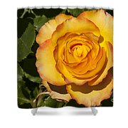 Red-tipped Yellow-orange Rose Shower Curtain