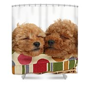 Red Toy Poodle Puppies Shower Curtain