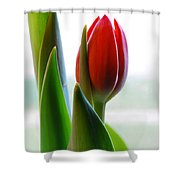Red Tulip Day 1 Shower Curtain